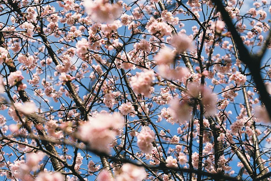 桜が咲いている画像