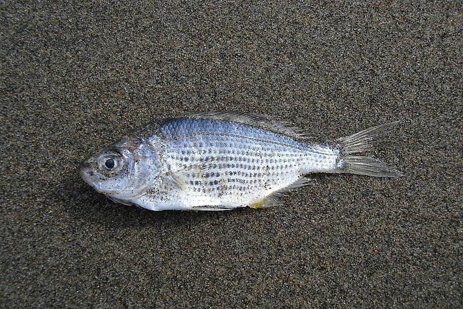 死んだ魚の画像