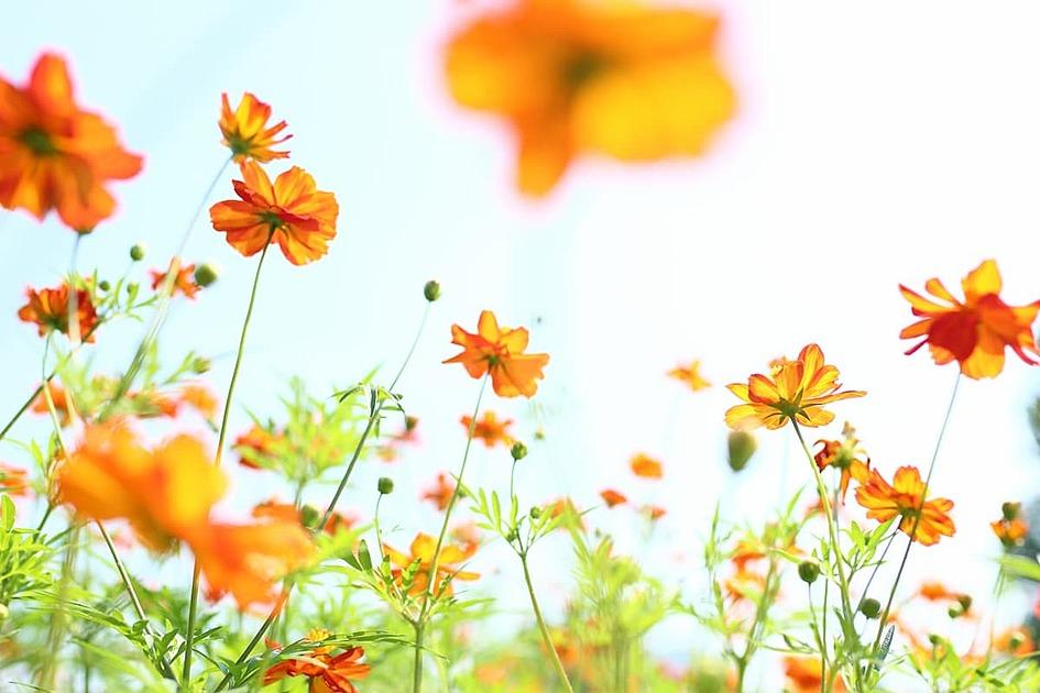 オレンジの野の花の写真