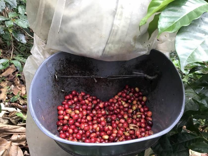 生の赤いコーヒー豆