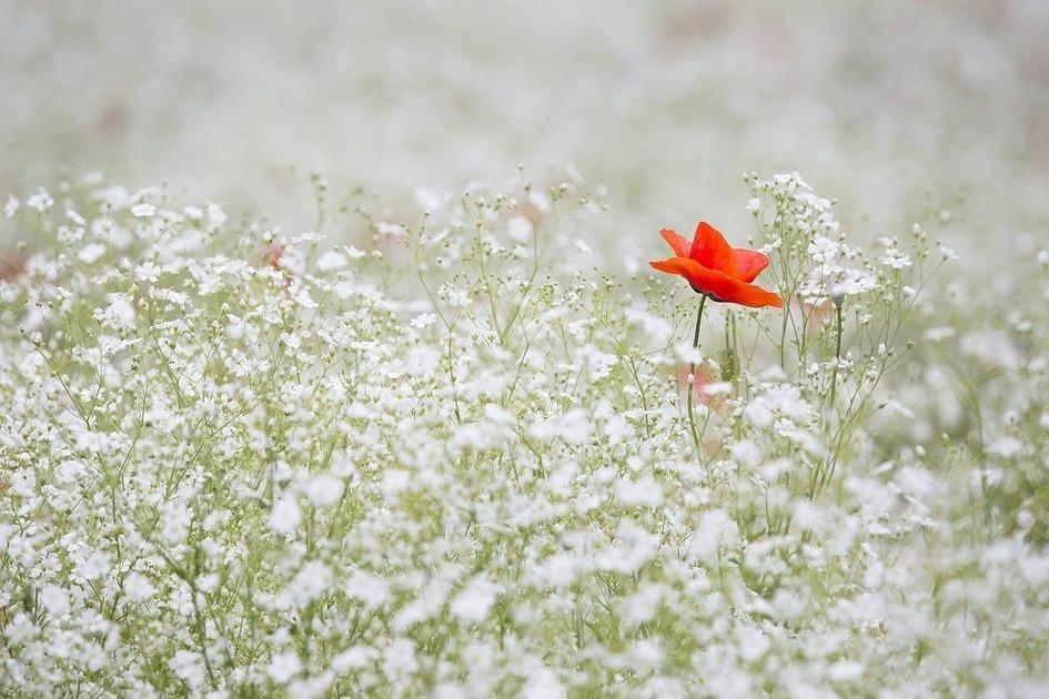 カスミソウの中に赤い花